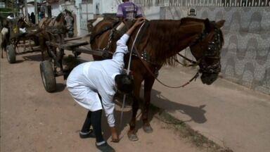 Estudo realizado por pesquisadores da Ufal desperta interesse da comundade internacional - Pesquisa quer dar mais qualidade de vida aos cavalos usados para transportar carga.