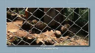 Animais silvestre são encontrados vivendo em cativeiro - A ocorrência foi atendida pela polícia ambiental, em Chopinzinho