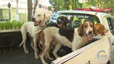 Grupo é autuado por usar 16 cães para caçar javalis em Tremembé - Além dos cachorros das raças pitbull, beagle, foxhound americano e labrador, com os sete homens foram apreendidas facas e rádios para comunicação.