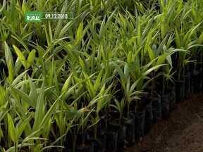 Projeto para produção de mudas de açaí é destaque no Mirante Rural - O programa deste domingo (10) mostrou que a técnica melhora as mudas de açaí e isso aumenta a expectativa dos produtores e do mercado.