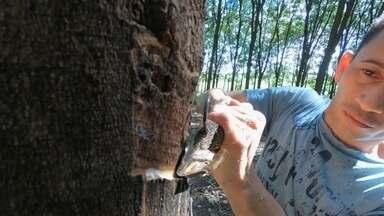 Falta de chuva atrapalhou produção de borracha natural - David Zuim Júnior, formado em eletrotécnica, tomou gosto pelo cultivo da borracha. Ele começou a plantar seringueira há 14 anos no sítio que tem em Cedral (SP). Hoje, o produtor conta com três mil árvores.