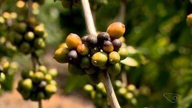 Altas temperaturas prejudicam frutos do conilon em Rio Bananal, ES - O sol forte afetou os grãos bem na época da formação e os cafeicultores já esperam uma queda na produção.