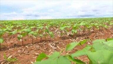 Parte 1: Veja o plantio de algodão em RO e os destaques do Boletim de Notícias - Novo levantamento da Conab foi divulgado.