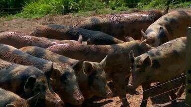 Produtores investem em criação diferenciada de suínos no Centro-Oeste de Minas - Sistema conhecido como 'Siscal' permite que os porcos sejam criados em ambientes abertos e método melhora qualidade dos animais.