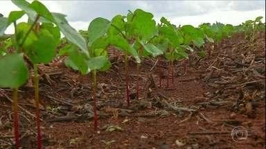 Safra de algodão deve ser recorde no Brasil - Expectativa é de colher 6,4 milhões de toneladas da fibra no país, sendo 4,3 milhões só em Mato Grosso.