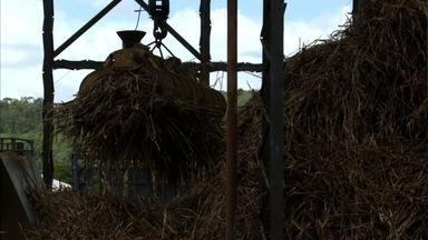 Cultura da cana-de-açúcar cresce 16% em Alagoas - Aumento é devido a chuva.
