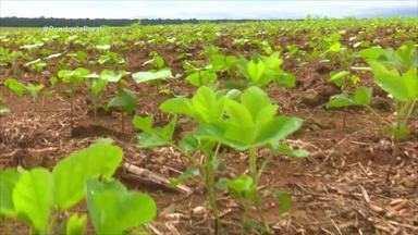 Plantio de algodão transgênico tem início em Rondônia - Vilhena é a primeira cidade do estado a plantar a cultura.