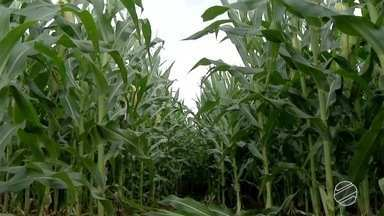 Região sul de MS deve terminar colheita de soja nos próximos dias - Já tem lavoura com plantio de milho bem avançado no estado.