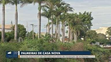 Começa 2ª etapa de transferência das palmeiras por causa da construção de barreira - Árvores estão sendo levadas para Bairro Nova Lima e Parque dos Poderes.