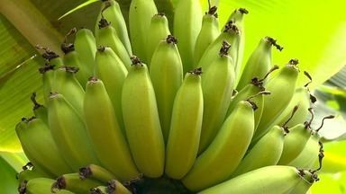 Queda no preço da banana preocupa produtores do ES - O preço do quilo da fruta despencou nos últimos anos.