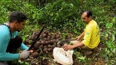 Parceria entre pesquisadores e extrativistas ajuda a melhorar renda com a castanha no Acre - O trabalho de pesquisa mostrou que uma infestação de cipó estava derrubando a produtividade das castanheiras na Reserva Extrativista Cazumbá-Iracema.