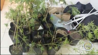 Polícia encontrou plantação de maconha em Lorena - PM suspeitou de dois homens que estavam em frente à uma casa.