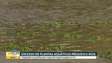 Excesso de plantas aquáticas prejudica rios - Vegetação se prolifera por causa do esgoto jogado no rio