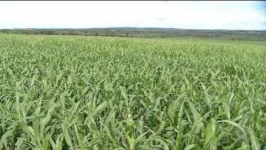 Sorgo é opção para cultivo de segunda safra em MT - Principalmente para os produtores que perderam a janela de plantio do milho. O sorgo é mais resistente durante o período de estiagem.