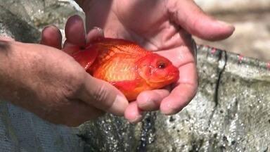 Psicultura ornamental ganha espaço no Sul do Espírito Santo - Em uma propriedade, a produção é de mais de 5 espécies e tem cerca de 6 mil peixes a venda por mês.