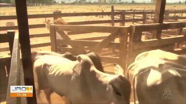 Início da campanha de vacinação contra a aftosa em Rondônia - Início da campanha de vacinação contra a aftosa em Rondônia