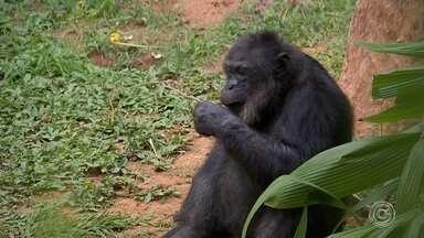 Manifestantes pedem por permanência de chimpanzé no zoológico de Sorocaba - Uma manifestação neste domingo (28) pediu a permanência do chimpanzé Black no zoológico Quinzinho de Barros, em Sorocaba (SP).