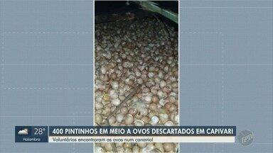 Pintinhos são encontrados em descarte de ovos em Capivari - Aves foram encontradas por funcionários da CPFL em um canavial.