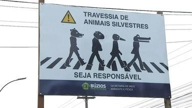 Jacaré é flagrado atravessando a rua em Búzios, no Rio de Janeiro - Prefeitura da cidade fez uma foto bem criativa para alertar os motoristas sobre a travessia de animais silvestres
