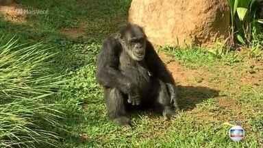 Chimpanzé do zoológico de Sorocaba vira alvo de polêmica - Justiça determinou que Black, de 48 anos, seja transferido para o santuário de grandes primatas, mas os moradores de Sorocaba não querem se despedir do chimpanzé
