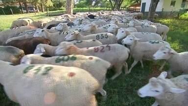 Criadores de ovelhas e carneiros usam tecnologia para aumentar a reprodução - Os criadores de ovelhas e carneiros de São Manuel usam a tecnologia para melhorar a reprodução desses animais.