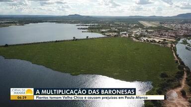 Prejuízos: baronesas seguem em expansão pelo Rio São Francisco em Paulo Afonso - A presença de baronesas em excesso é um sinal de poluição; confira na reportagem.