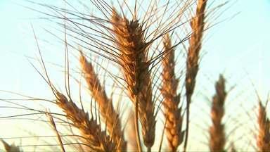 Agricultores plantam 46% do trigo no Paraná - Apesar do Deral prever uma área menor, a estimativa é para uma produção maior.