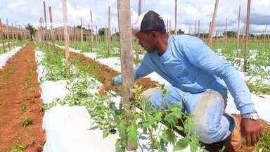 Parte 2: Em Vilhena, agricultores apostam em nova técnica de produção de tomate - Técnica proporciona economia.