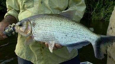 Pescaria de matrinxãs - Aventura em meio à Floresta Amazônica foi em busca de um peixe bom de briga!