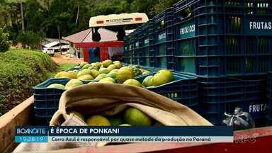 Cerro Azul é responsável por quase metade da produção de ponkan no Paraná - Cidade quer virar a capital da ponkan.