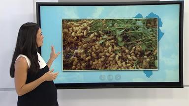 Produtores de amendoim de Santo Antônio de Jesus começam a colheita para as festas juninas - Chuvas regulares que caíram nos últimos dias ajudaram o plantio.