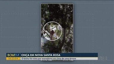 Onça parda é vista por moradores em Nova Santa Rosa, perto de Marechal Cândido Rondon - O bicho foi visto por moradores em cima de uma árvore.