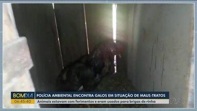 Polícia ambiental encontra galos em situação de maus-tratos - Animais estavam com ferimentos e eram usados para brigas de rinha.