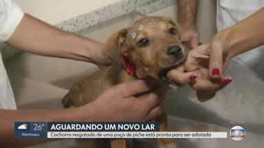 Cadela resgatada em uma poça e piche ainda está recebendo cuidados médicos - Ela está pronta para ser adotada.