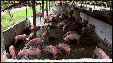 Criador de porcos transforma dejetos dos animais em energia sustentável, no ES - De acordo com a Associação dos Ssuinocultores, o Espírito Santo tem 15 produtores que possuem biodigestores instalados.