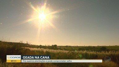 Geada afeta canaviais e pode reduzir produtividade na região de Ribeirão Preto - Produtores rurais calculam prejuízos após frio intenso no final de semana.