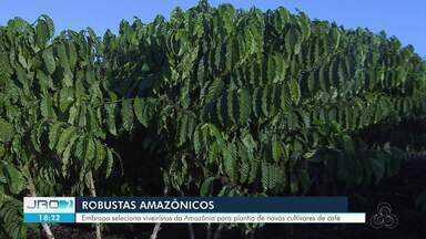 Embrapa seleciona viveiristas para a distribuição de novas cultivares de café - Distribuição acontece no campo de Ouro Preto do Oeste.
