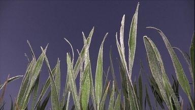 Frio intenso e geada causam estragos na produção rural de pelo menos três estados - No Paraná, a preocupação é com as lavouras de trigo. No sul de Minas, a geada atingiu lavouras de café.