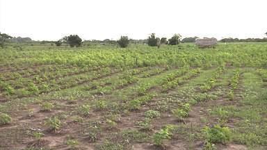 Produtores rurais estão ansiosos com aumento de colheita no Vale do Pindaré - Tudo isso porque as lavouras estão bem desenvolvidas graças ao aumento de chuva na região.