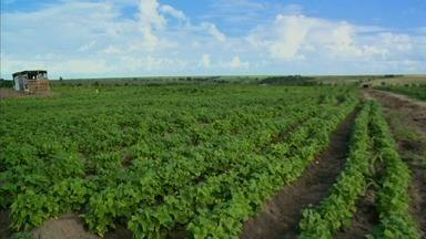 Agricultores de Anadia contam com solidariedade para sobreviver e ganhar o sustento - Eles estão plantando em uma área particular emprestada por três anos. E a expectativa é de boa colheita para este ano.