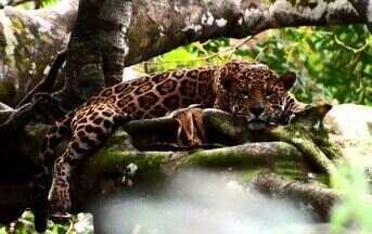 Onça nas alturas - Em Reserva, no Amazonas, felinos se adaptam para sobreviver na época da cheia