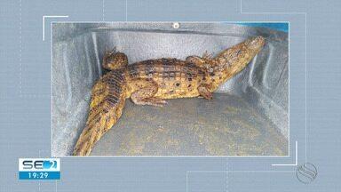 Dois jacarés são resgatados pela Adema em Aracaju - Existe informação de que um terceiro animal continua à solta.