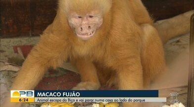 Macaco foge de parque zoológico e invade casa, em João Pessoa - Polícia Ambiental fez a captura do animal com apoio de biólogo da Bica. Animal foi devolvido ao Parque.