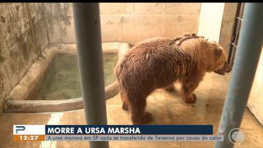 Ursa Marsha morre de câncer em São Paulo - Ursa Marsha morre de câncer em São Paulo