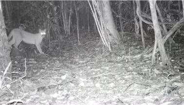 Segundo maior felino do Brasil, onça parda é moradora do Parque Nacional da Bocaina - Região abriga diversos bichos ameaçados de extinção. O local também é refúgio de muitas espécies de plantas e animais.