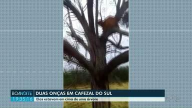 Duas onças foram flagradas em cima de uma árvore em Cafezal do Sul - O flagra foi feito por um funcionário da fazenda por volta de 9 horas da manhã.