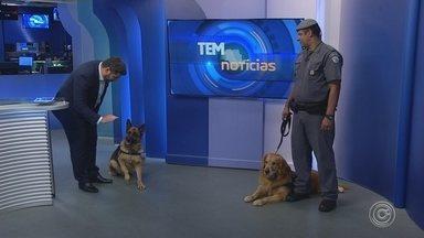 Estimacão: cães da Polícia Militar visitam o estúdio do TEM Notícias - Os cães da Polícia Militar de Sorocaba (SP) visitaram o estúdio do TEM Notícias.