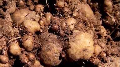 Sistema da Embrapa garante boa produtividade do mangarito - Alimento parecido com uma batata já foi muito popular, mas dificuldade de cultivo e baixo rendimento afastam agricultores da atividade.