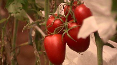 Assista ao bloco 01 do Caminhos do Campo do dia 11 de agosto de 2019 - Técnica simples aumenta a qualidade do tomate e reduz o custo de produção