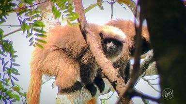 'Terra da gente': conheça o sauá, um primata nativo da Mata Atlântica - Caso suas condições não melhorem, o macaco sauá enfresta alto risco de extinção em um futuro próximo